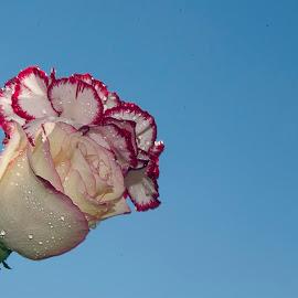 rose with carnation by LADOCKi Elvira - Flowers Flower Arangements ( nature, plants, flowers, garden, floral )