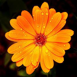 Pétales by Gérard CHATENET - Flowers Single Flower
