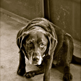 Molly by Jamie Myers - Animals - Dogs Portraits ( chocolate, black & white, labrador, dog, lab,  )