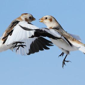 Let's Dance by Mircea Costina - Animals Birds ( bunting  ·wild ·canada ·white ·wildlife ·plectrophenax ·birds ·bird ·flight ·winter ·ice ·snow ·nivalis )