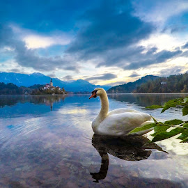 Swan at Lake by Andrej Folo - Animals Birds ( clouds, reflection, church, white, lake, leaf, morning, photography, blue sky, sky, blue, slovenia, bled, swan, nikon )