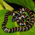Paradise Tree/Flying Snake