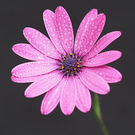 Stemming the Tide by Gillian James - Flowers Single Flower ( water drops, osteospermum, purple, close up, flower )