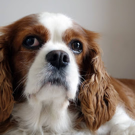 Millie by Chaz Clark - Animals - Dogs Portraits ( natural light, k.c.c., dog, king charles cavalier, portrait )