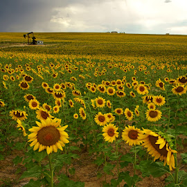 Sunflower Field & Oil Pump by Justin Giffin - Flowers Flower Gardens ( flower garden, sunflowers, oil pump, colorado, sunflower field, flowers,  )