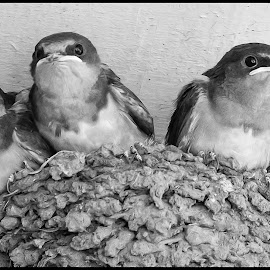 Barn Swallows by Dave Lipchen - Black & White Animals ( barn swallows )