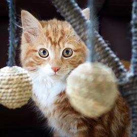 Kitten & Ball by Linda Johnstone - Animals - Cats Kittens ( kitten, ginger kitten, kittens, cute, ginger cat, pet phoography )