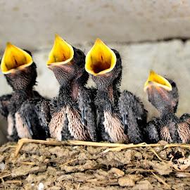 Swallow chicks by Heather Aplin - Animals Birds (  )