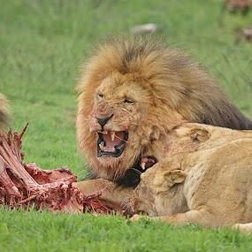 Its mine.... by Charmane Baleiza - Animals Lions, Tigers & Big Cats ( charmane baleiza, lion, big cats, lioness, wildlife )