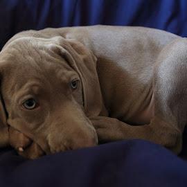 by Szuszán Hajnalka - Animals - Dogs Puppies