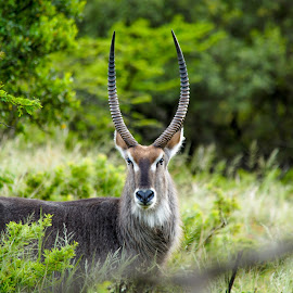 Water buck by Greg Holmes - Novices Only Wildlife