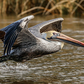 Pelican down low by Shutter Bay Photography - Animals Birds ( flight, bird of prey, nature, waterscape, action, brown pelican, birds, pelican )