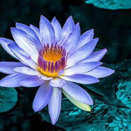 Glowing Lavender Waterlily by Joan Sharp - Flowers Flower Gardens ( aquatic flowers, teal, lavender, flowers, yellow glowing center )