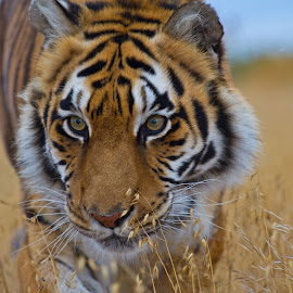 Jasmine by Chris Seaton - Uncategorized All Uncategorized ( big cat, natural light, tiger, wildlife, mammal )