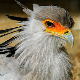 Secretary bird by Gérard CHATENET - Animals Birds