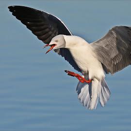 Grey-headed gull by Johann Harmse - Animals Birds ( nature, grey-headed gull, grey headed gull, action, in flight )