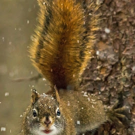 Red Squirrel by Steve Dunsford - Animals Other Mammals ( canada, ontario parks, wildlife photography, wildlife, ontario, forest, portrait, mammal, winter, nature, algonquin, red squirrel, outdoor, snow, nature photography, rodent, algonquin park, squirrel, animal )