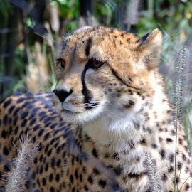 Cheetah by Ricardo Fong - Animals Lions, Tigers & Big Cats ( spots, cheetah, zoo, hunting, washington dc )