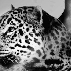 Big Cat by Ana Paula Filipe - Animals Lions, Tigers & Big Cats ( whitw, portrait, black, leopard, eyes )
