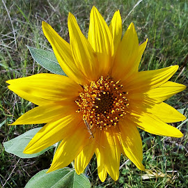 Sunflower by Sarah Harding - Novices Only Flowers & Plants ( plant, nature, novices only, garden, flower )