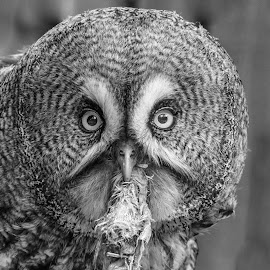 Dinnertime by Garry Chisholm - Black & White Animals ( bird of prey, nature, owl, banham, garrychisholm, raptor, great grey )