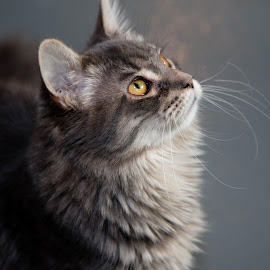 Fluffy by Michele Williams - Animals - Cats Portraits ( cat, rescue, fur, grey, whiskas, eyes )