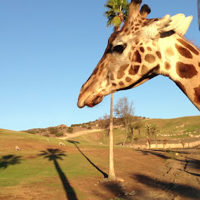 A Giraffe by Justin Kifer - Animals Other Mammals