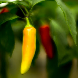 Peppers by Jim Oakes - Nature Up Close Gardens & Produce ( banana, peppers, plants, hot, garden )