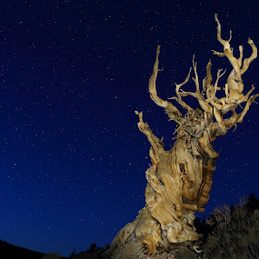 The Bristlecone Pines.... The oldest living organisms on the planet. It is estimated this old fella right here was just a little stapling when Genghis Kahn was starting his conquests!!!!!!!! Approximately 4500 years old and still growing ..The Bristlecones  in the White mountains above Bishop,California are a experience rather than a nice view... dennis by Dennis Ducilla - Landscapes Starscapes
