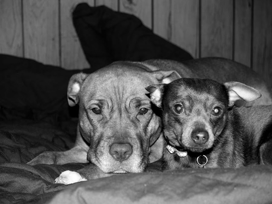Bella & Spike by Jessie Dautrich - Animals - Dogs Portraits ( love, min pin, best friends, dogs, pit bull,  )
