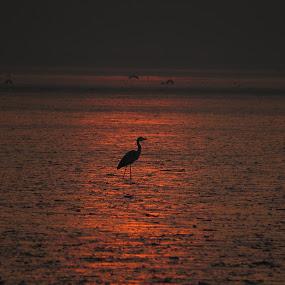 bird and sunrise by Yahia  husain - Landscapes Sunsets & Sunrises ( stunnin, beautiful, lovely, sunrise, beauty, landscape )