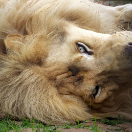 White Lion by Ingrid Anderson-Riley - Animals Lions, Tigers & Big Cats