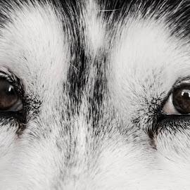 Beloved Eyes by Svetoslava Todorova - Animals - Dogs Portraits ( brown eyes, white, husky, dog, black, animal )