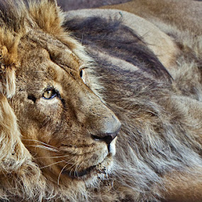 Mighty Lion by Johannes Bichmann - Animals Other Mammals