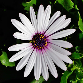 White Daisy by Sarah Harding - Novices Only Flowers & Plants ( macro, novices only, nature up close, flower, colours )