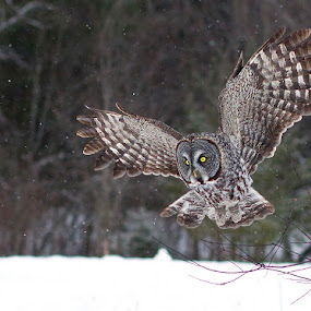 Great Gray Owl by Herb Houghton - Animals Birds ( predator, bird of prey, boreal forest, great gray owl, owl, raptor, herbhoughton.com, animal, motion, animals in motion, pwc76 )