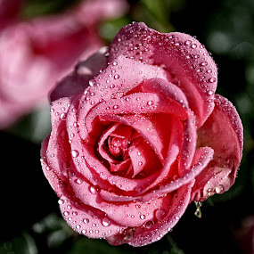 BA rose 43 by Michael Moore - Flowers Single Flower (  )