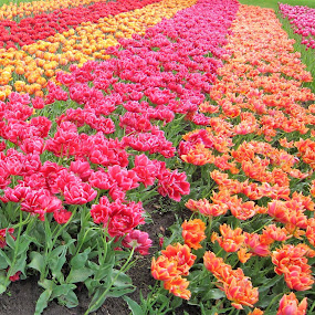 Colourful Tulips by Dennis  Ng - Flowers Flower Gardens (  )