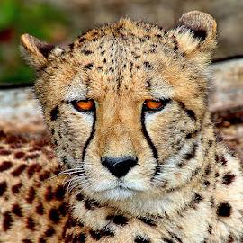 Guépard by Gérard CHATENET - Animals Lions, Tigers & Big Cats