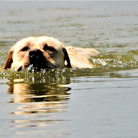 by Donna Van Horn - Animals - Dogs Playing (  )