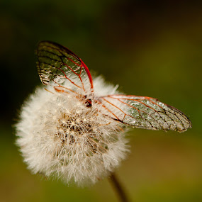 wings by Alex D.  Veriga - Nature Up Close Other plants ( alex veriga, other, dandelion, wings )