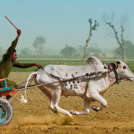 Run Baby by Abdul Rehman - Sports & Fitness Other Sports ( buul, pakistan, punjab, dust, bullcart, cart, race, rural, rural sports )