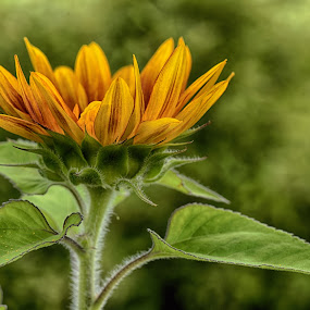 The Sun Is My Idol ! by Marco Bertamé - Flowers Single Flower ( petals, green, summer, sunflower, bloom, blur, yellow, leaves, bokeh, sdof, sun,  )