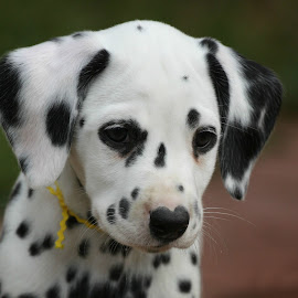 dal puppy by Suzi Wahl - Animals - Dogs Puppies ( #dalmatian )