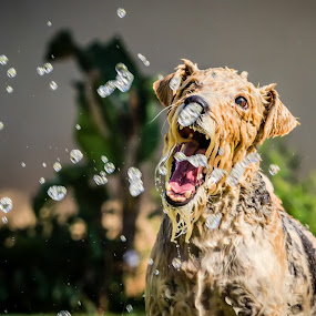 Focused on the water drop by Nardus Taljard - Animals - Dogs Playing ( water, playful dog, dog in water, dog having fun, dog )