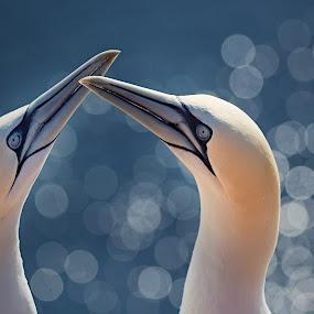 Birds in Paradise by Jiri Cetkovsky - Animals Birds ( morus, bassanus, helgoland, bokeh, birds )
