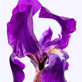 Iris by Susan Pretorius - Flowers Single Flower