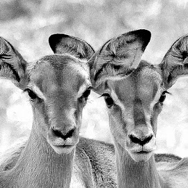 Impala young by Fanie van Vuuren - Black & White Animals