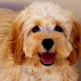 Harvey by Francis Xavier Camilleri - Animals - Dogs Portraits