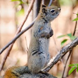 Red Squirrel by Dave Lipchen - Animals Other Mammals ( red squirrel )
